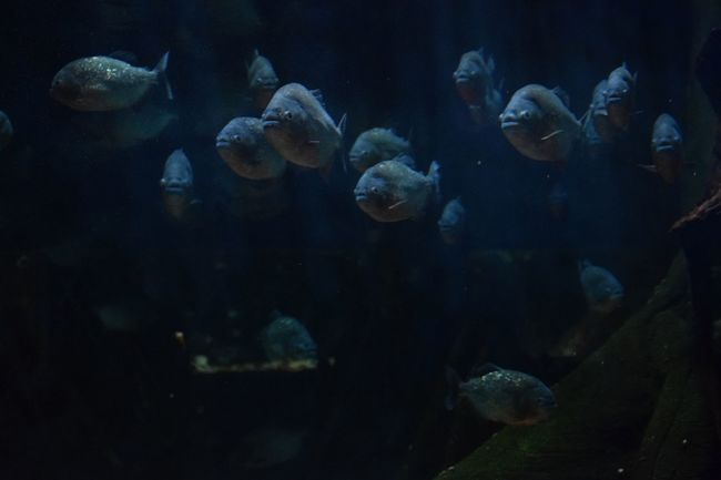 piranhas... Piranha Water TropicalFish Instafish Photooftheday Fishporn Piranhas Tropical Colorful Large Group Of People People Crowd Adults Only Indoors  Human Body Part Adult