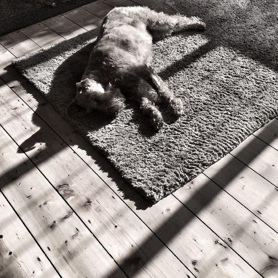 Irishterrier Enjoying The Sun Sleeping Dog Sun