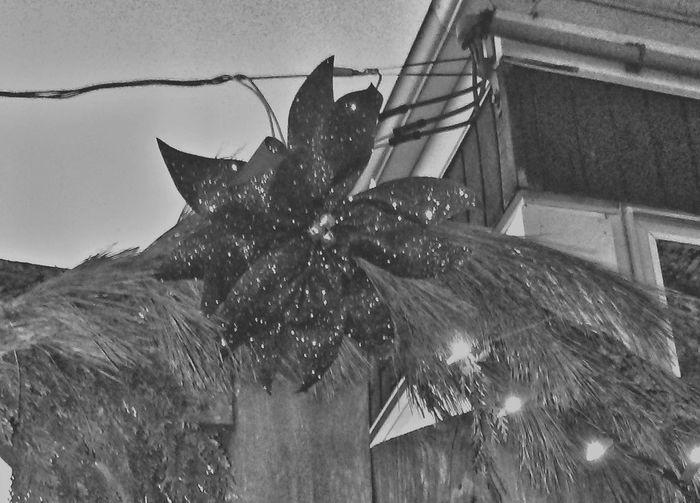 Outdoors Christmas Decorations Bnw_captures Blackandwhite Photography Christmastime Blackandwhite Christmas Decoration Bnw_collection Blancoynegro Black And White Photography Blackandwhitephotography Black And White Black&white Black & White Bnw_friday_eyeemchallenge Christmas Time Christmas Lights Gate Xmas Mood Nem Nature Poinsettia Flower Poinsettias Poinsettia Beauty In Nature Xmas Decorations