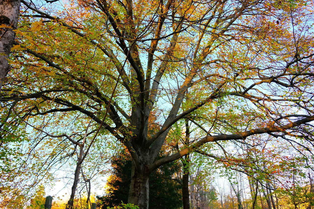 tree, plant, autumn, beauty in nature, branch, low angle view, no people, sky, growth, nature, day, tranquility, tree trunk, outdoors, trunk, change, scenics - nature, tree canopy, backgrounds, leaf
