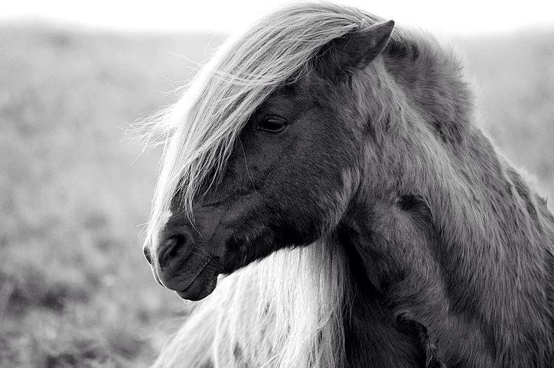 Wild horses in freedom Iceland Icelandic Horse Photography Blackandwhite All About The Light