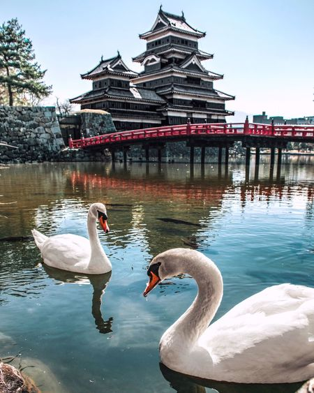 Swans on lake against building