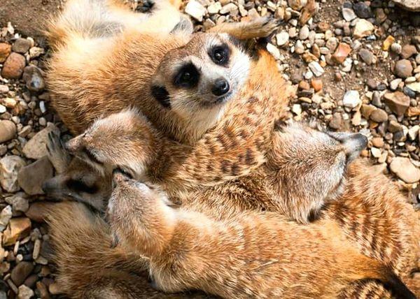 Meerkat Family EyeEm Best Shots Eyeemphotography Huddle Snuggles Animal Photography EyeEm Animal Lover
