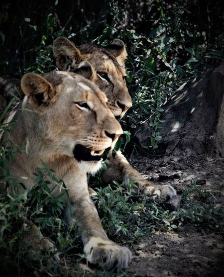 Animal Themes Animals In The Wild Big Cat Day Felions Grass Light And Dark Light And Shadow Light In The Darkness Lion Pair Lioness Lions Mammal Nature No People Outdoors Pair Safari Animals Two People