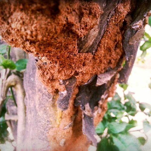 Some ant mound on the lemon tree bark in the back yard Photography S3lightshot Scottyzepplin Nature