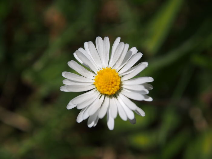 Beauty In Nature Close-up Daisy Day Flower Flower Head Flowering Plant Focus On Foreground Fragility Freshness Growth Inflorescence Nature No People Outdoors Petal Plant Pollen Spring Vulnerability  White Color
