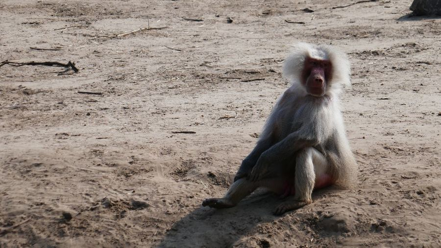 Sit And Relax... Sit And Watch Baboon Animals In The Wild One Animal Animal Themes Mammal Monkey Day Nature Animal Wildlife Sand No People Full Length Outdoors Japanese Macaque