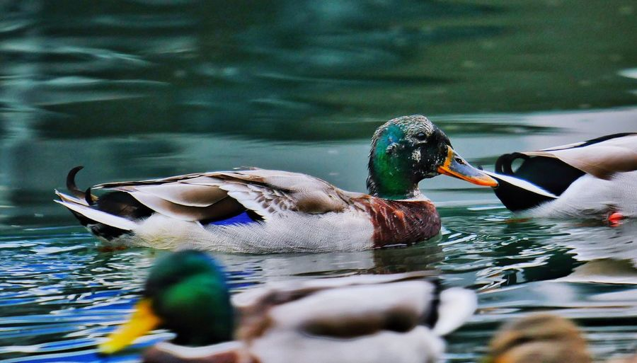 Duck Duck Transformation Mauser Swimming Bird Water Animals In The Wild Lake Animal Themes Day Outdoors No People Water Bird Nature Close-up Togetherness