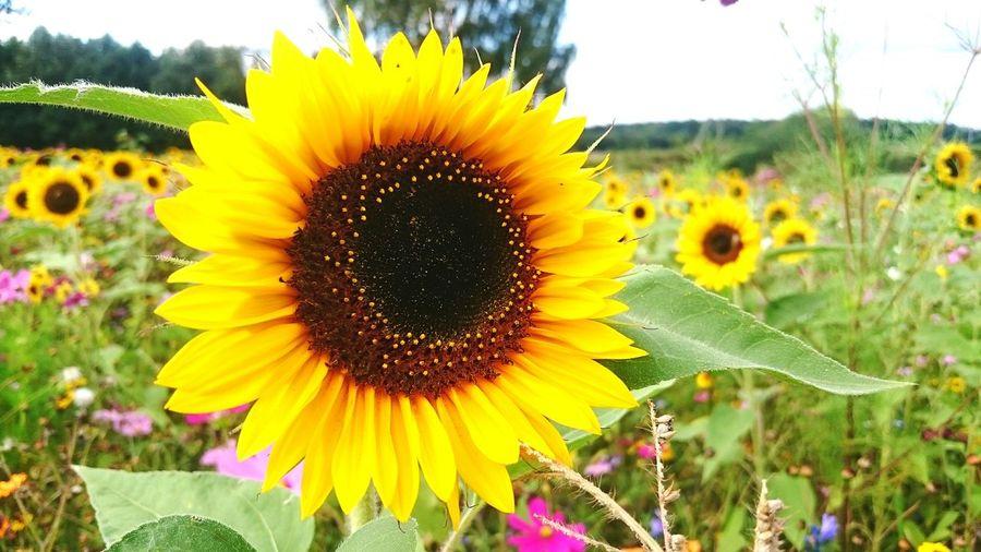 Flower Sunflower Sonnenblume