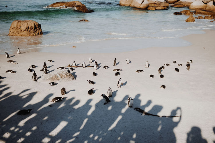 Penguins In South Africa Animals In The Wild Coastline Penguins In South Africa South Africa Tourist Attraction  Animal Wildlife Beach Day Enjoying Life Group Of Animals Large Group Of Animals Lazy Lazy Day Nature Penguin Penguins Penguins On Beach South African Penguins Travel Destinations Water
