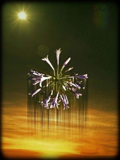Blender,decim8,mullerphoto,lenslight,texture,flower,sunset