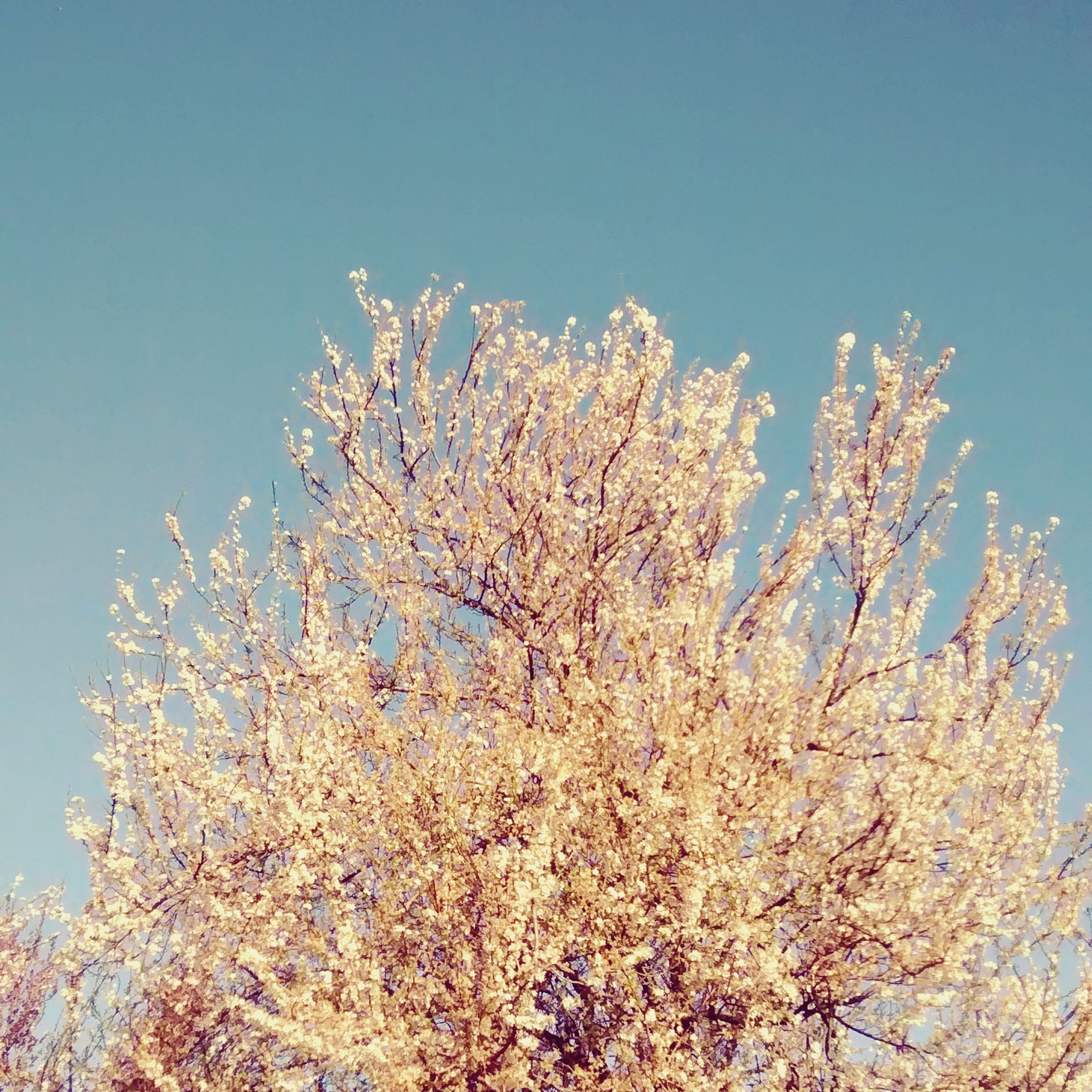 tree, low angle view, season, cold temperature, beauty in nature, snow, winter, clear sky, branch, white, weather, growth, nature, scenics, high section, flower, sky, day, tranquil scene, blue, blossom, tranquility, in bloom, outdoors, flower tree, freshness, springtime, single tree, no people, treetop, non-urban scene