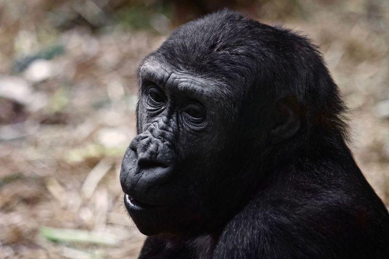 Gorilla Portrait EyeEm Selects Primate Monkey Ape Animal Animal Themes One Animal Gorilla Black Color Close-up No People Animal Head  Looking Portrait Mammal