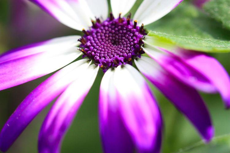 Flower Petal Purple Beauty In Nature Close-up Blooming No People Outdoors EyeEm Nature Lover EyeEm Best Shots Fragility