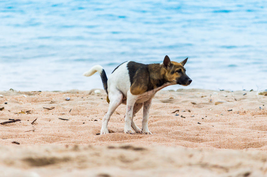 Animal Animal Themes Beach Canine Day Dog Domestic Domestic Animals Excrete Land Mammal Motion Nature No People One Animal Pets Running Sand Sea Vertebrate Water