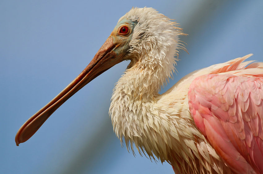 Spoonbill Animal Animal Body Part Animal Eye Animal Head  Animal Neck Animal Themes Animal Wildlife Animals In The Wild Beak Bird Close-up Day Focus On Foreground Low Angle View Nature No People One Animal Outdoors Pelican Profile View Side View Sky Stork Vertebrate