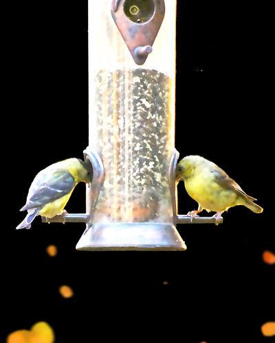 Finches On A Feeder Backyardphotography Bird Close-up Perching Yellow Birds On Black Backround
