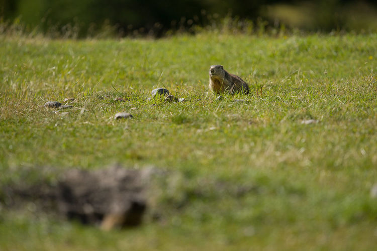 Animal Themes Animal Wildlife Animals In The Wild Day Field Grass Growth Marmot Marmotte Mountain Animal Nature No People One Animal Outdoors Selective Focus