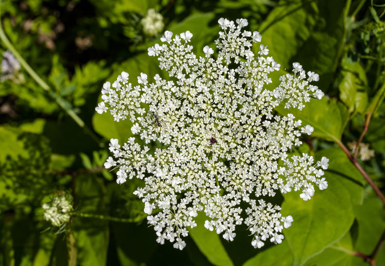 Wild Carrot Beauty In Nature Plant Growth Flower Flowering Plant Freshness Fragility Vulnerability  Nature Close-up No People Day Focus On Foreground White Color Green Color Outdoors Leaf Plant Part Botany Selective Focus Flower Head Lilac