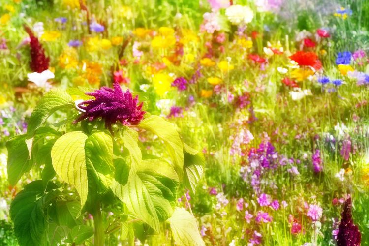 Viele bunte Frühlingsblumen auf einer Wiese Beauty In Nature Blooming Flowers Bluehen Blumen Bunte Blumenwiese Day Flowers Frühling Grass Nature No People Outdoors Plant Plants And Flowers