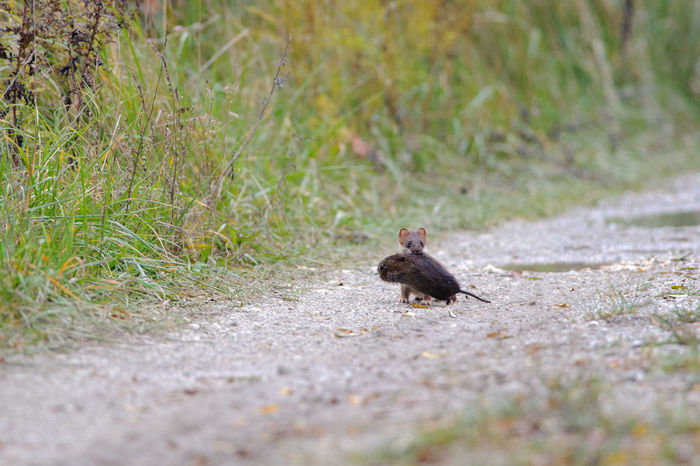 Stoat with killed rat in Neusiedler See National Park Austria Mustela Erminea National Park Neusiedler See Rat Animal Animal Wildlife Animals In The Wild Carnivore Grass Mammal Nature Outdoors Prey Rodent Stoat Weasel Wildlife