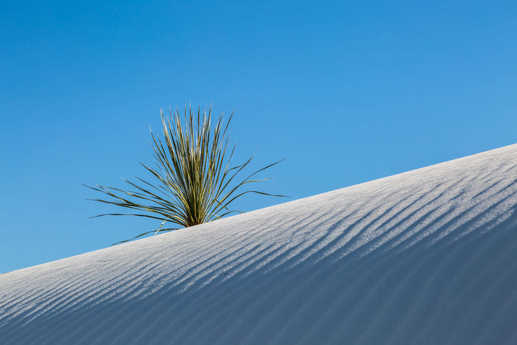 A sand dune and yucca plant in White Sands National Monument, New Mexico Clear Sky Sky Blue Nature Day Plant No People Low Angle View Growth Sand Dune Sunlight Outdoors Copy Space Scenics - Nature Sand Beauty In Nature Tranquility Close-up Desert Landscape Arid Climate Climate Directly Below Yucca White Sands National Monument