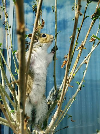 Feeling larger than life Nature Outdoors Close-up Animal Themes Beauty In Nature Foster Pet Baby Squirrel Rehabilitation Tree Babies Urban Life Animal Photography Foster Babies Fell From Heaven Softness Remy Big Eyes Focus Temporary Mother Rehabilitating Curiosity