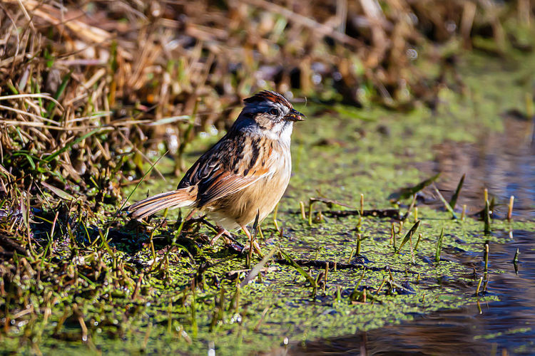 One Animal Animal Themes Animal Animal Wildlife Animals In The Wild Bird Vertebrate Water Nature Lake No People Plant Day Perching Full Length Selective Focus Grass Focus On Foreground Outdoors