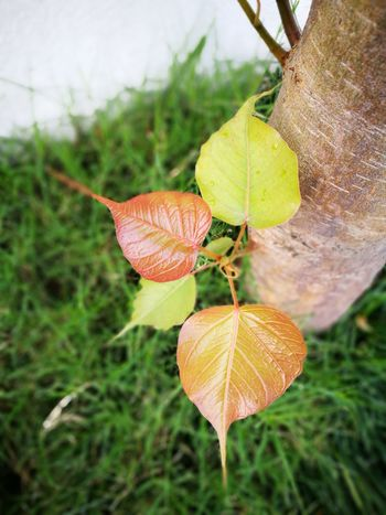 Nature Close-up Freshness Leaves Growing Beauty In Nature Peepal Tree Outdoors Green Color