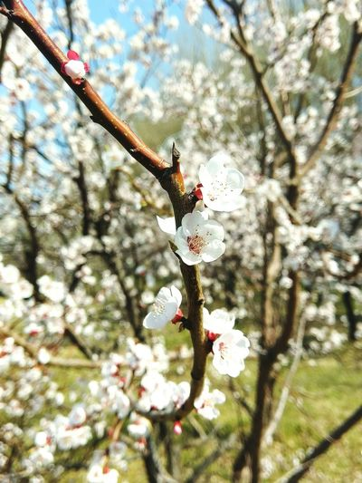 Flowers Apricot Still Life Photography Still Life Campus Trees Spring Changchun The Great Outdoors - 2016 EyeEm Awards