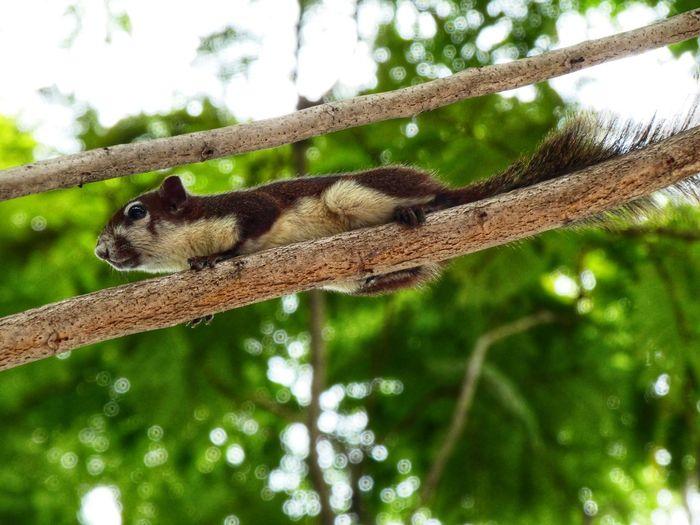 Leopard Branch