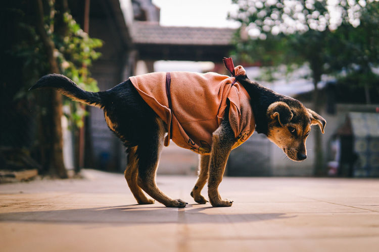 Side view portrait of dog wearing pet clothing on footpath