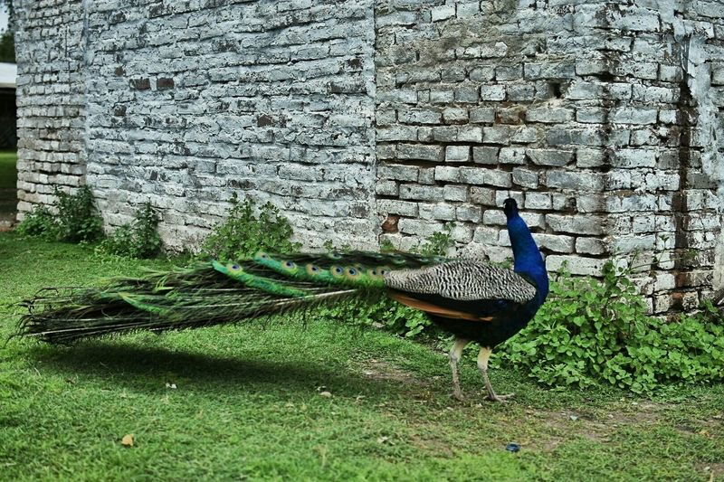 Pavo Real Birds Aves