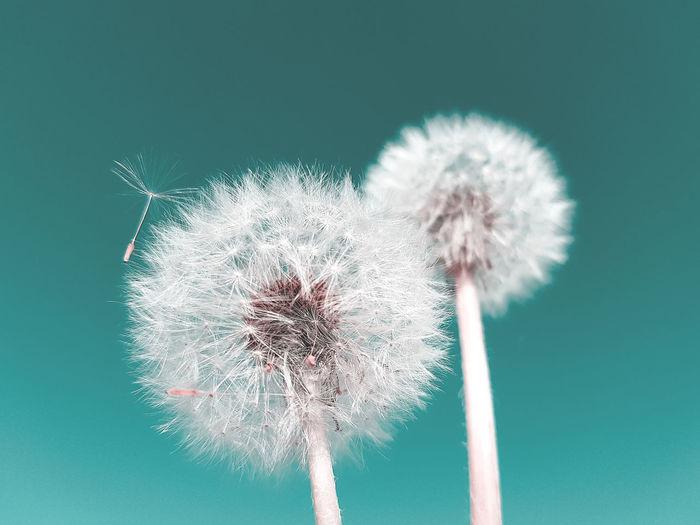 Close-up of dandelion against blue sky