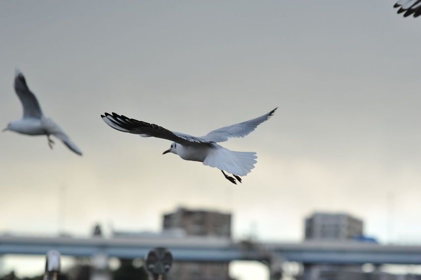Animal Themes Bird Flying Nature No People Sea Bird Seagull Spread Wings