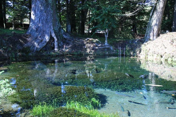 Photo Reef 爽やか 底抜池 池 川魚 魚 Fish Nature Photography Photo Pond 忍野八海 Oshinohakkai Yamanashi Transparency Tree Water Forest