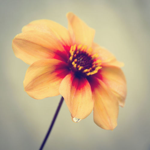 Flowering Plant Flower Petal Fragility Vulnerability  Beauty In Nature Freshness Close-up Plant Inflorescence Flower Head Growth Pollen No People Nature Yellow Focus On Foreground Day Selective Focus Neutral Background Waterdrop Blurred Background Apricot Color Pitoresque