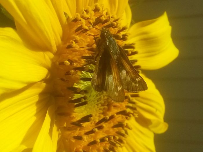 Buterflyflowers