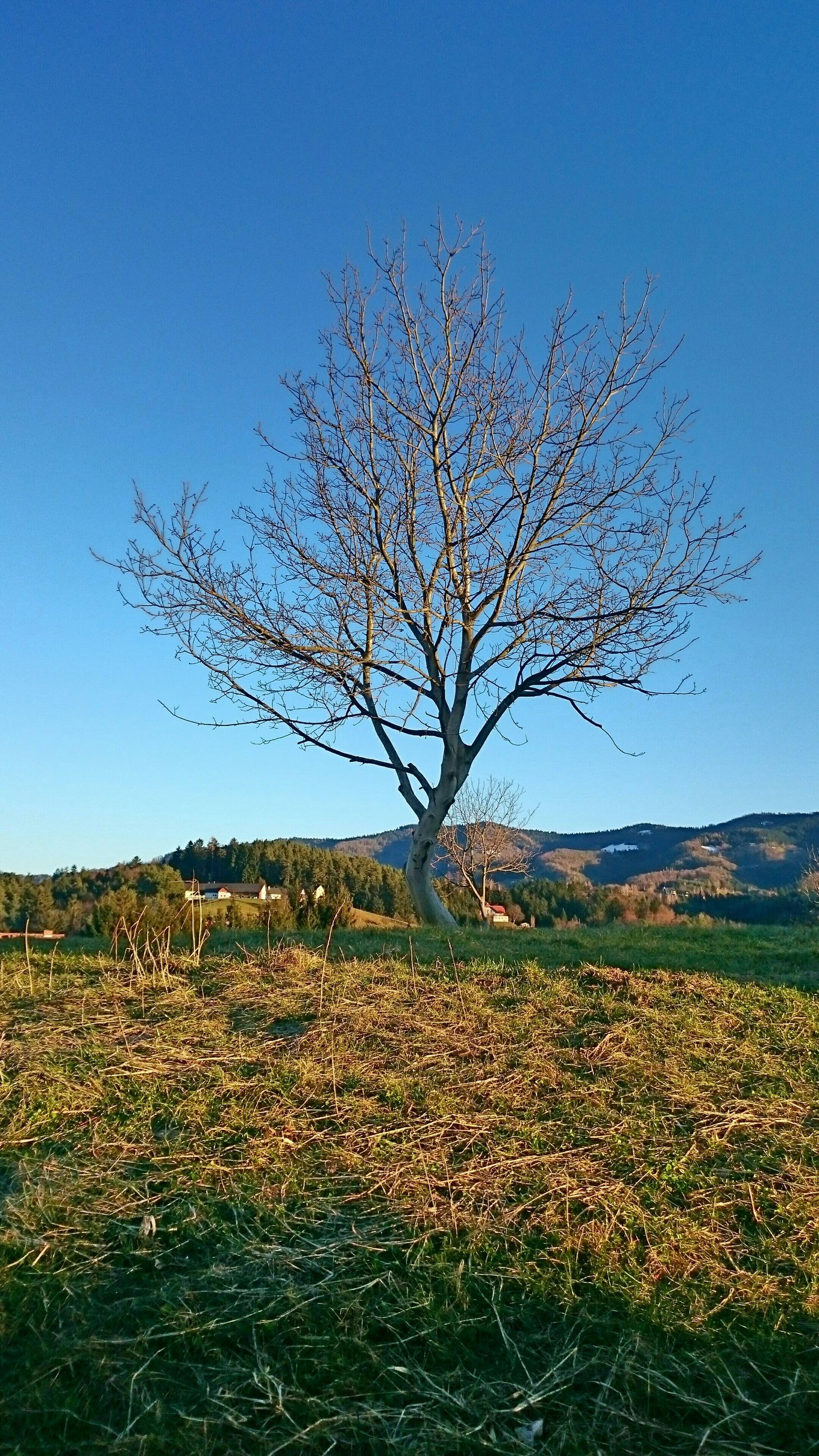 clear sky, landscape, tranquil scene, field, tranquility, beauty in nature, scenics, nature, blue, tree, growth, rural scene, copy space, bare tree, horizon over land, agriculture, non-urban scene, flower, grass, branch