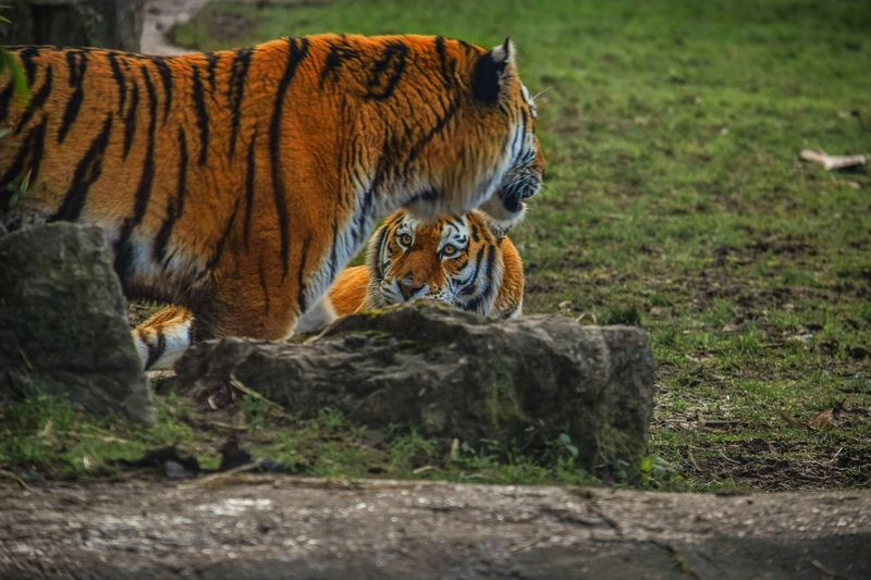 Powerful, graceful and deadly - EYE OF THE TIGER Tiger Nature Outdoors Bigcatphotography Bigcats Eyeofthetiger Power Deadly Graceful Powerful Christiannicelphotography Animals In The Wild Nature Relaxing Beautiful Nikon Love