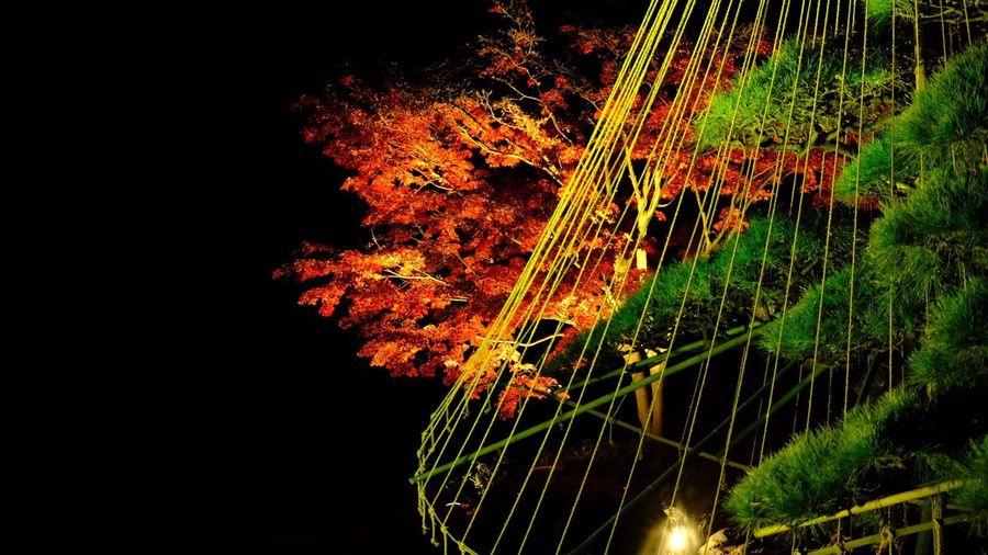 足立区 桜花亭 ライトアップ。 Adachi Maple Trees Maple Leaf Autumn Leaves Autumn Colors Beauty In Nature Growth Night