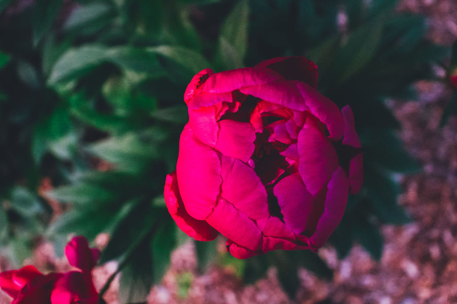 Beauty In Nature Blooming Close-up Day Flower Flower Head Focus On Foreground Fragility Freshness Growth Nature No People Outdoors Peony  Petal Rose - Flower