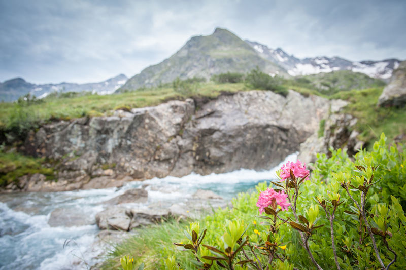 Alpine rose in front of a wild river in the Tyrol Alps Flower Flowering Plant Plant Beauty In Nature Mountain Nature Water Solid Rock Rock - Object No People Tranquility Day Environment Freshness Focus On Foreground Scenics - Nature Mountain Range Landscape Land Outdoors Mountain Peak Flowing Water Alpine Rose