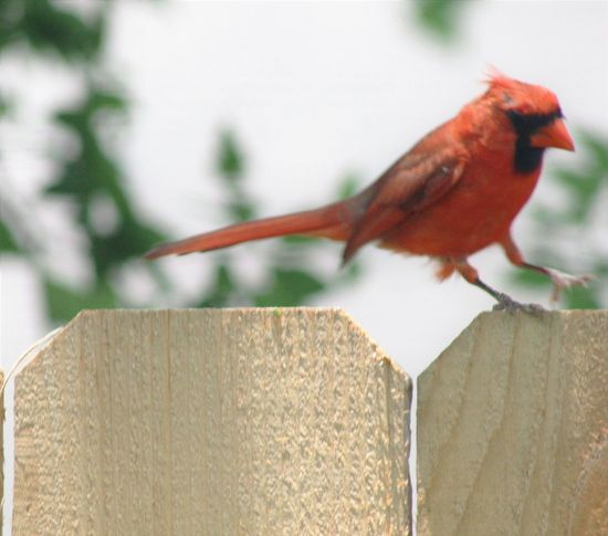Animal Themes Animals In The Wild Bird Canonphotography Close-up Day Focus On Foreground Jumping Nature No People One Animal Outdoors Perching Redbird