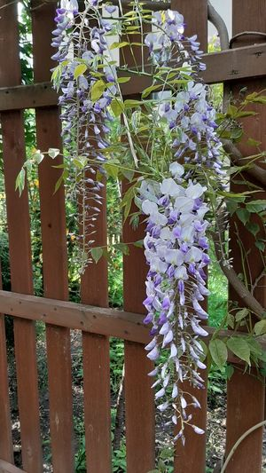 Close-up of purple flowering plants by fence