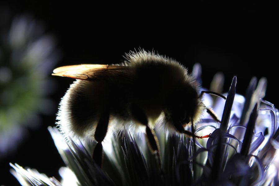 Bumble bee on globe thistle Bumble Bee Bumblebee Backlit Bee Bombus Terrestris Close-up Dusk Echinops Evening Flower Focus On Foreground Globe Thistle Growth Nature No People Plant