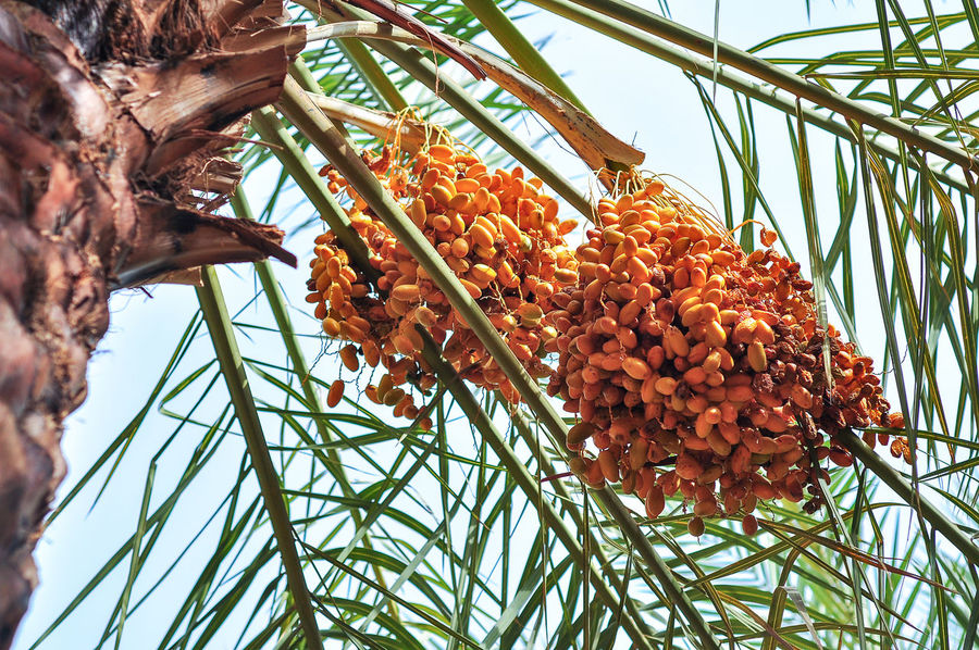 Dates Tree Arabic Food Date Date Palm Tree Dates Dates Fruit Dates Palm Dates Tree Datesfruits Datestree Food Food And Drink Freshness Fruit Growth Healthy Eating Nature Saudi Saudi Arabia Tree