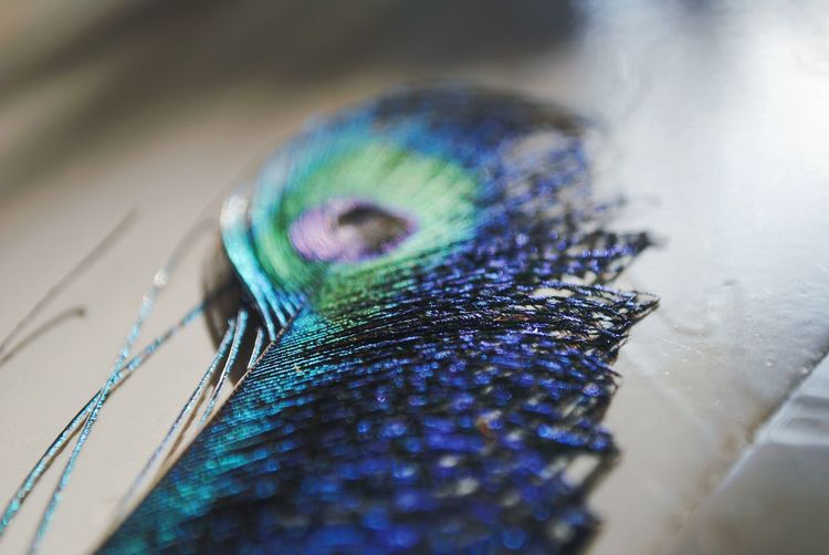 Close-up of peacock feather