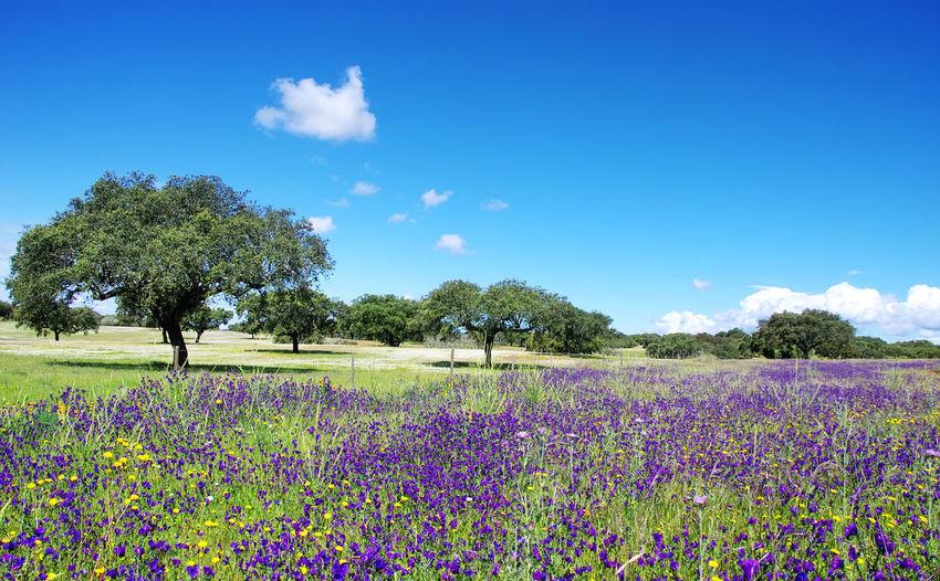 field of alentejo region at springtime, Portugal Wildflower Beauty In Nature Blooming Blossom Blue Bluebonnet Field Flower Grass Green Color In Bloom Landscape Purple Scenics Sky Tree