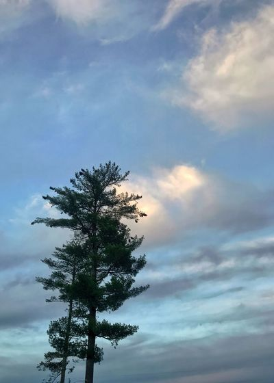 Pine trees with clouds. Cloudscape Sky Cloud - Sky Low Angle View Tree Pine Tree Vertical Scenics Day